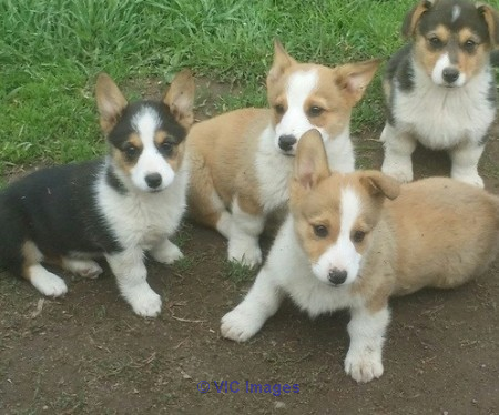 Pembroke Welsh Corgi Puppies Calgary, Alberta, Canada Classifieds