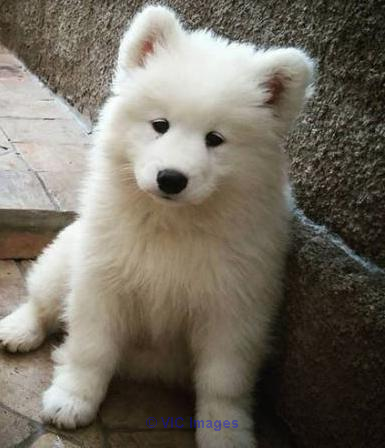 Beautiful Gorgeous Samoyed Puppies Ready to go Calgary, Alberta, Canada Classifieds