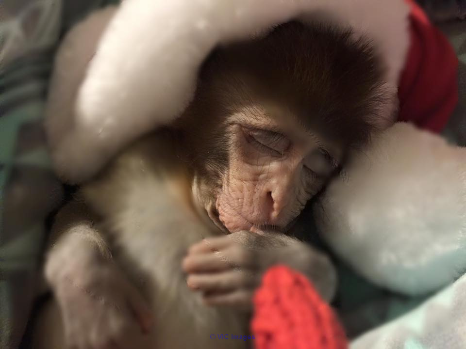 Baby Monkey Available calgary