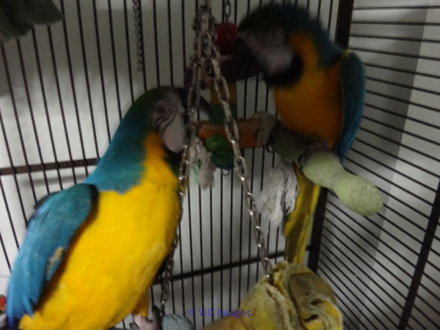 BEAUTIFUL PAIR OF B & G MACAW calgary