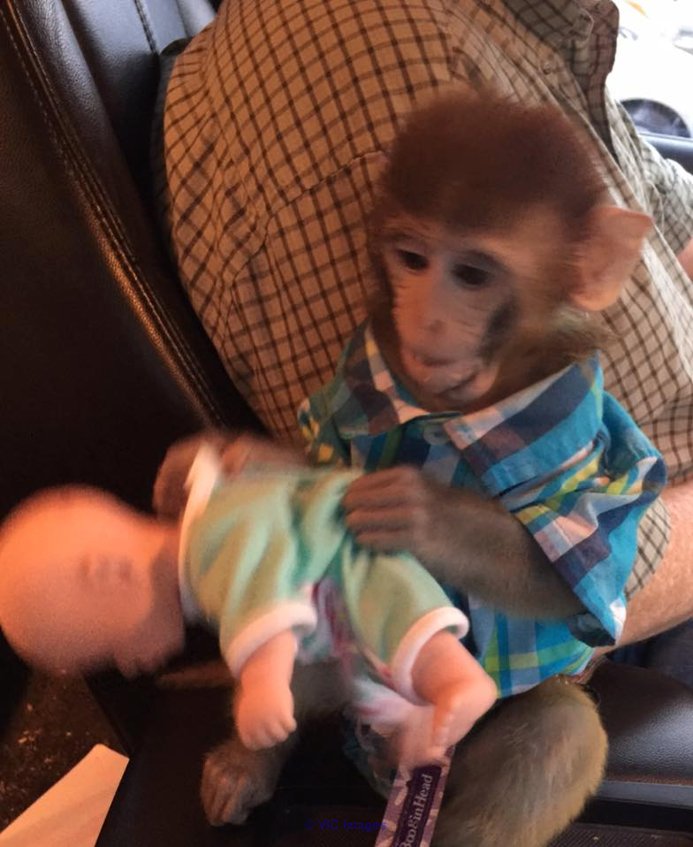 Amazing Rhesus Baby monkey for adoption Calgary, Alberta, Canada Annonces Classées