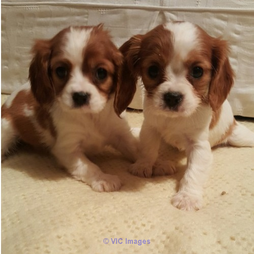 RUBY CAVALIER KING CHARLES SPANIEL PUPPIES FOR SALE calgary