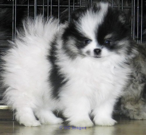 wonderful pomeranian puppies for rehoming Calgary, Alberta, Canada Annonces Classées
