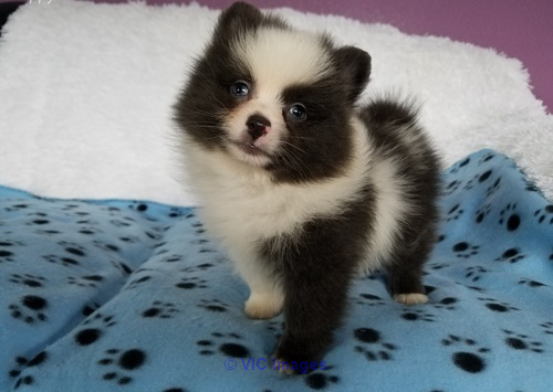 Excellence pomeranian puppies for re homing calgary