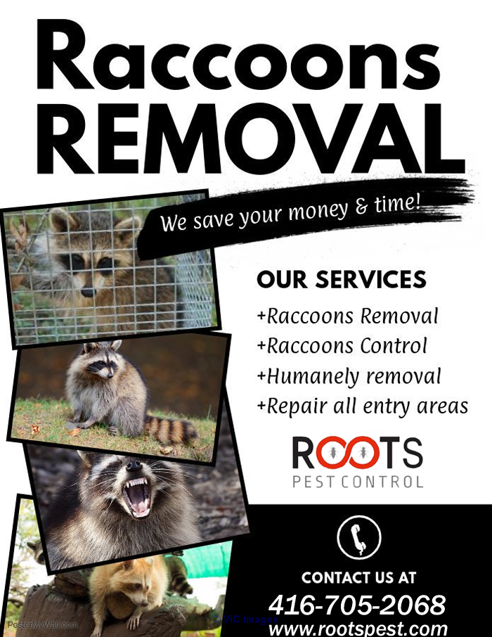 Raccoon Removal Services In Toronto