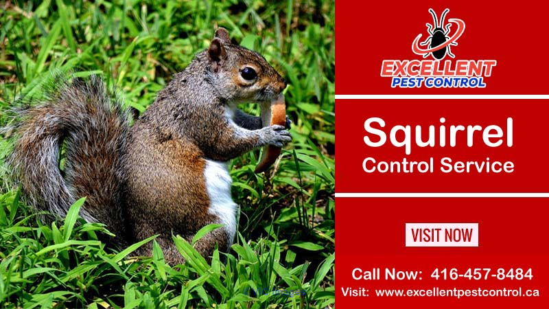 Squirrel Removal and Control | Excellent Pest Control     calgary