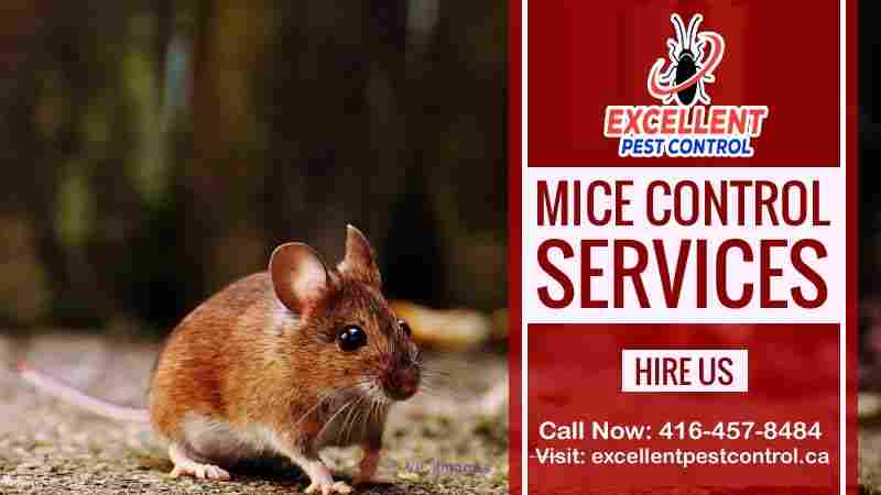 Mice and Rat Control | Excellent Pest Control  calgary