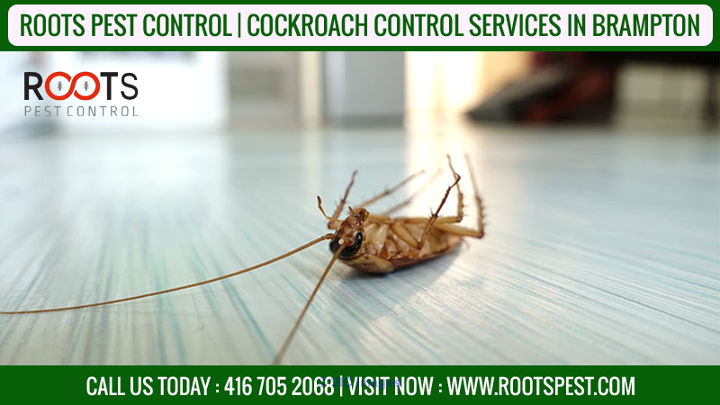 Cockroach Control Service | Roots Pest  calgary