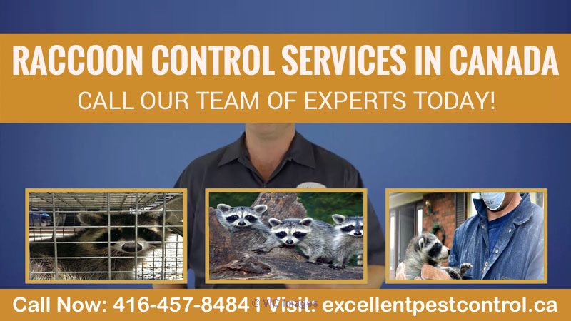 Raccoon Control Service | Excellent Pest Control  calgary