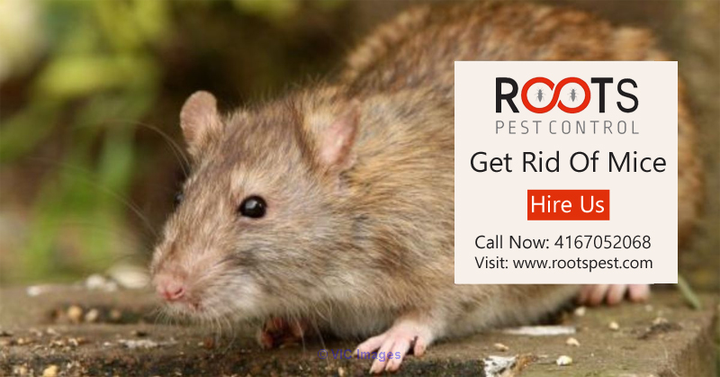 Get Rid of Mice With Roots Pest Control  Calgary, Alberta, Canada Classifieds