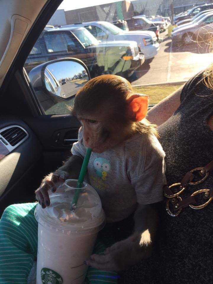 FRIENDLY BABY MONKEY RHESUS MACAQUE FOR ADOPTION calgary