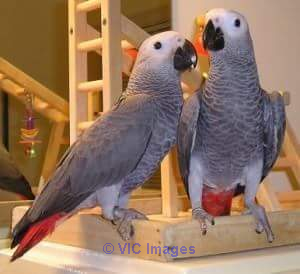 LOVELY AFRICAN GREY PARROTS FOR REHOMING/ADOPTION